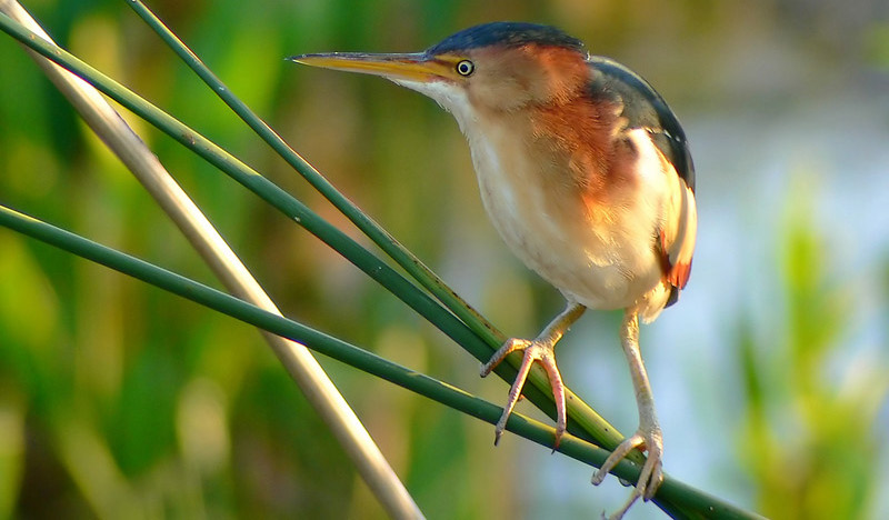The Least Bittern